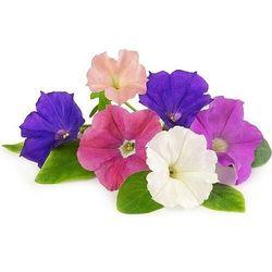 Véritable - Kwiaty Jadalne - wkład nasienny - petunia (do doniczek autonomicznych)