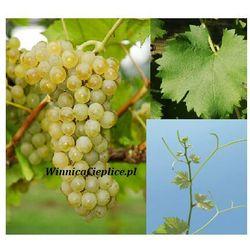 Sadzonka winorośli Sauvignon Nepis® rabat 8%